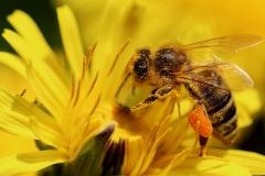 Biene mit vollem Pollensack - 45 Punkte, Petra Hillebrand