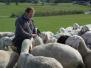 Untermieming - Schafe