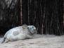 Helgoland Robben